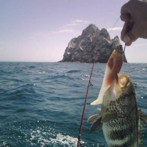 Spotted Bay bass in Consag Rock, San Felipe, Mexico